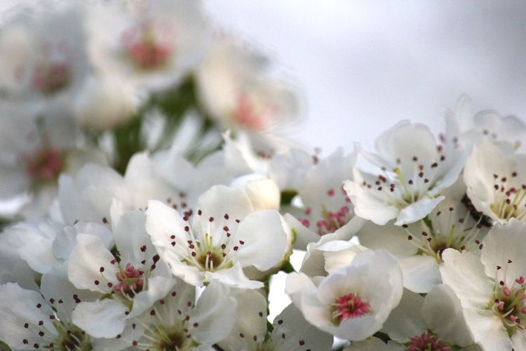 Close-up of white cherry blossom