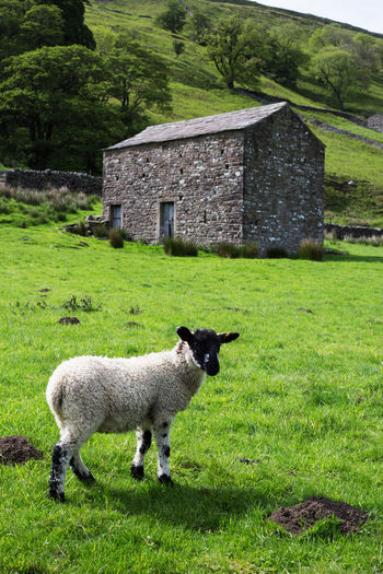 A young Swaledale lamb standing in front of a traditional field barn near Muker in Swaledale, North Yorkshire Plant Grass Mammal Livestock Animal Themes Animal Architecture Built Structure Field Land Sheep Nature Green Color Landscape Building Exterior Building No People Outdoors Lamb Swaledale Muker Copy Space Farm Animal Swaledale Sheep Trees Stone Barn