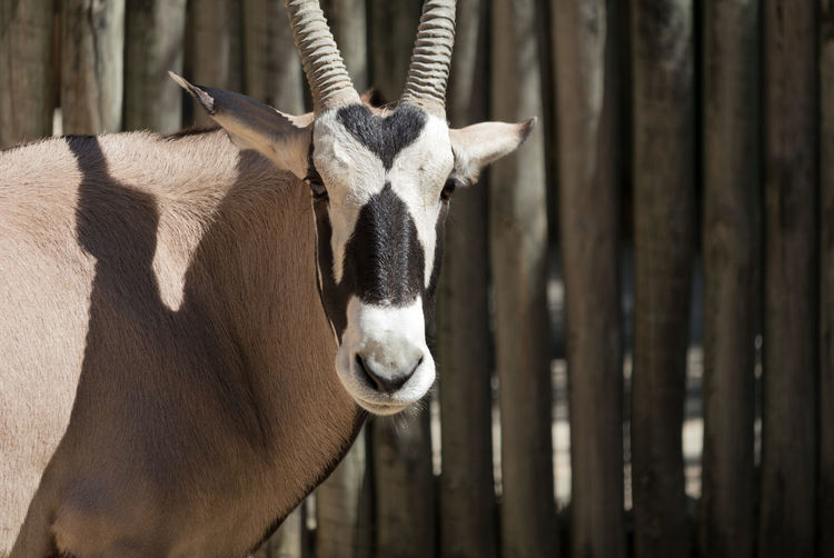 Close-up portrait of gemsbok standing outdoors