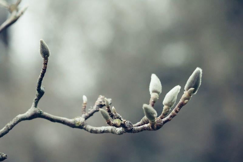 *Knospenglück* Was regt sich unter grünen Hüllen, am Hälmchen und am stolzen Baum? Was wächst und breitet sich im Stillen, umweht von süßem Morgentraum? Die Blumen sind's, ihr frisches Streben ist Frühlingsglück und Frühlingsgruß, sie möchten duften, möchten leben, sie harren auf der Sonne Kuss. Die Knospe lauscht den heitern Sängen, der braunen Lerche Jubellied, die Hülle möchte sie zersprengen, die Sehnsucht wünscht: sie sei erblüht! O möchtest du vergehn und schwinden, eh' dich berührt der Sonne Strahl. Du Blüte! Leben und Empfinden ist oft nur Schmerz und herbe Qual. Zerreiße nie den zarten Schleier, nicht, Blüte, deinen grünen Saum. - O Seele, deine schönste Feier ist Ahnungslust und Morgentraum! (Karoline Leonhardt 1811-1899) Awakening Of Nature Beauty In Nature Buds Eye4enchanting Eye4nature Eye4photography  EyeEm Gallery EyeEm Nature Lover Growth In The Park Ladyphotographerofthemonth Magnolia Nature On Your Doorstep Nature Photography Nature_perfection Poetry In Pictures Spring Has Arrived Take A Walk Tranquility Twig Untamed Heart My Gift For You ✨