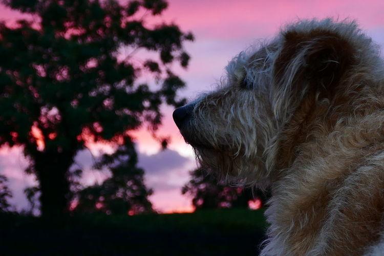 Close-up of dog at sunset