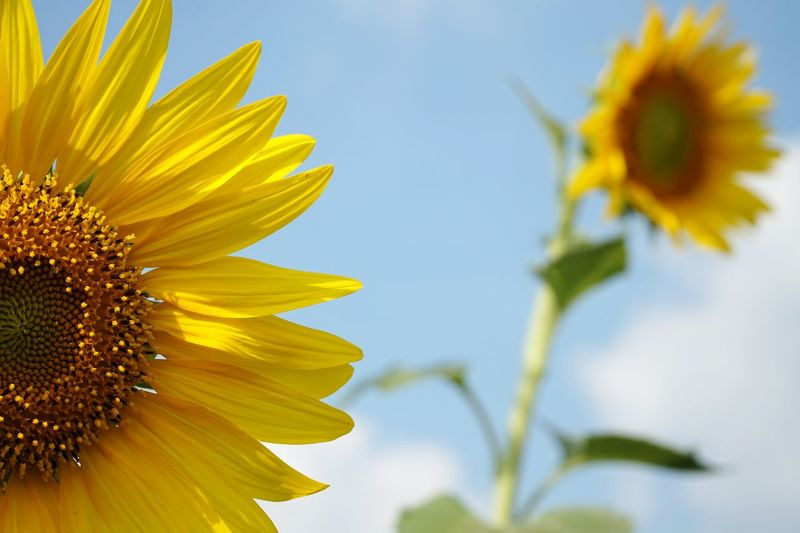 Close-up of sunflowers against the sky