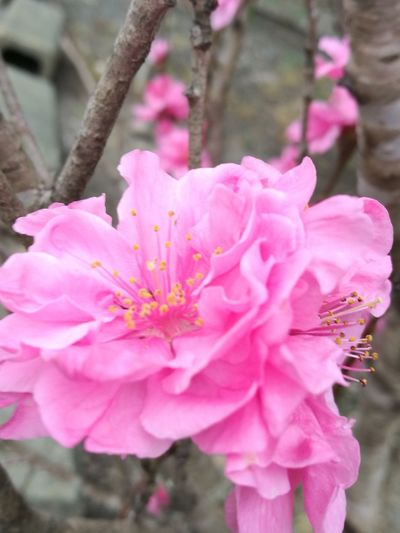 Flower Pink Color Petal Rhododendron Nature Fragility Flower Head Growth Stamen Close-up Outdoors Freshness Plant Blossom Beauty In Nature Pollen Day Tree