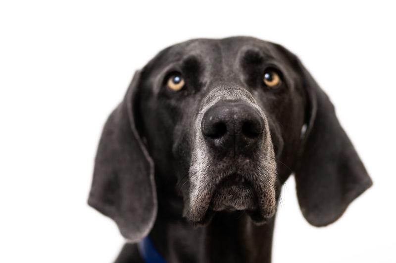 Close-up portrait of black dog against white background
