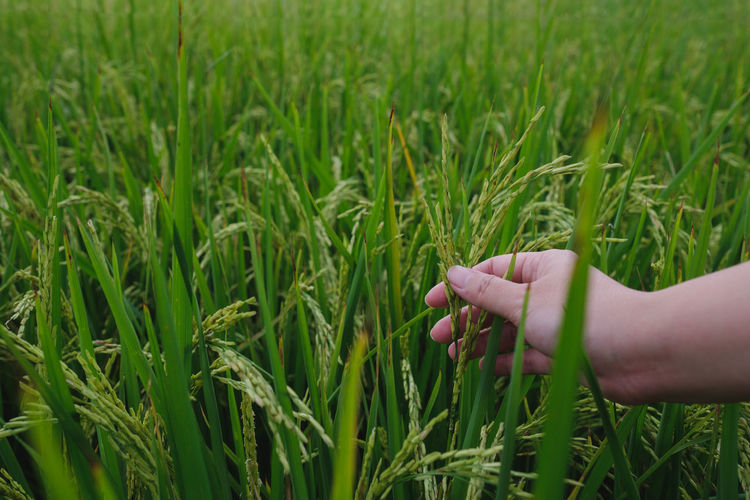 Cropped Hand Wheat Leaves