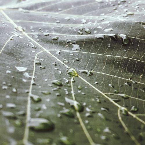 Leaf Leaf Veins Leaf 🍂 Dews On A Leaf