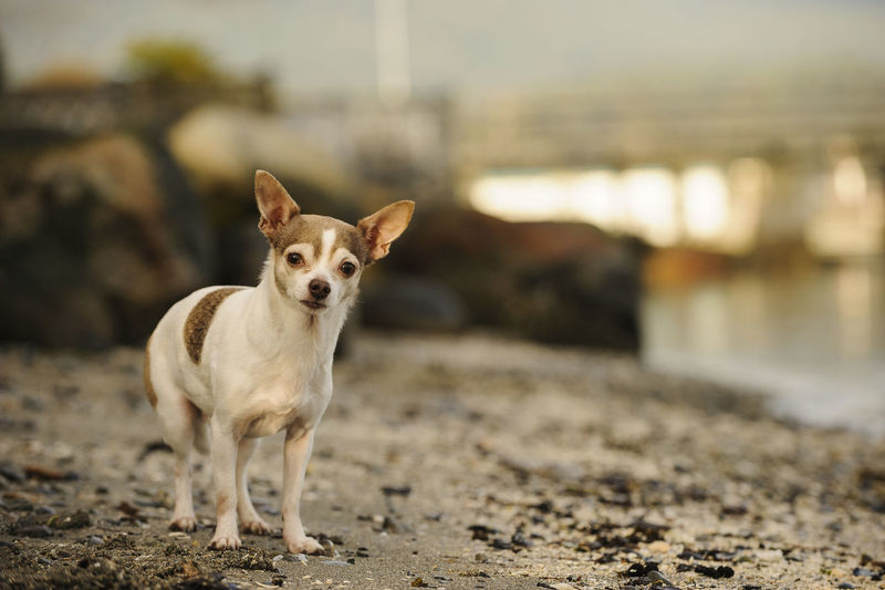 Portrait Of Chihuahua Dog Standing On Dirt Path