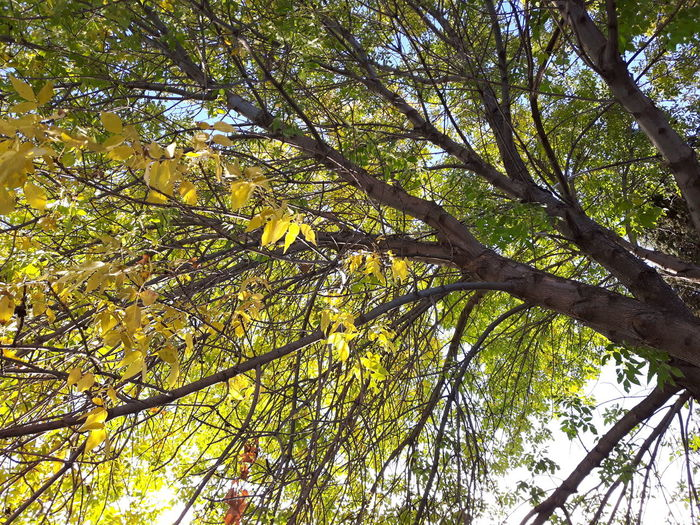 Tree Low Angle View Branch Growth Tranquility Nature Beauty In Nature Green Color Sky Outdoors Majestic Non-urban Scene No People Leaf Samsung Galaxy S5 Neo Spruce Grove, Alberta Sunny Under My Green Ash Tree End Of Summer Orange Yellow And Green Leaves Changing Seasons