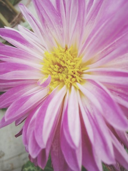 Flower Pink Color Petal Flower Head Fragility Close-up Plant Beauty In Nature Front Or Back Yard Nature Freshness Purple Focus On Foreground No People Outdoors Yellow Day Beauty Multi Colored FlowerLove 🌸 Flowers, Nature And Beauty