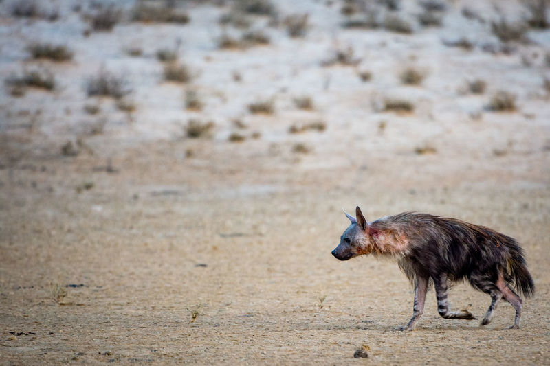 Animal Themes Animal Wildlife Animals In The Wild Bird Blood Brown Hyena Day Hyena Kalahari Mammal Nature No People One Animal Outdoors Scavenger Shaggy Wildlife Wildlife Photography The Great Outdoors - 2017 EyeEm Awards The Great Outdoors - 2017 EyeEm Awards