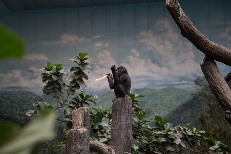 Snacking in solitude. Brookfield Zoo Brookfield, IL Zoo Ape Gorilla Snack
