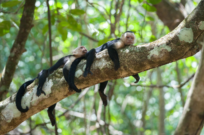 White-Faced Capuchins (Cebus capucinus) resting during the midday heat in Corcovado National Park Capuchin Monkey Corcovado Costa Rica Hot Siesta White-Faced Capuchin Animal Themes Animal Wildlife Animals In The Wild Branch Cebus Capucinus Corcovado National Park Day Heat Mammal Monkey Nature Relax Rest Resting Wildlife