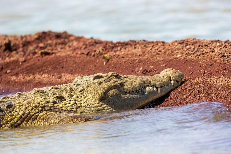 Close-up of crocodile in the sea