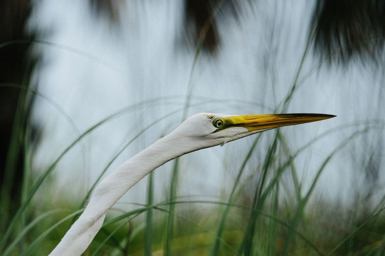 Great White Egret Birds One Animal Animal Themes