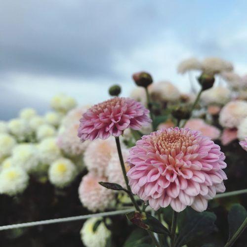 Florist's Daisy
