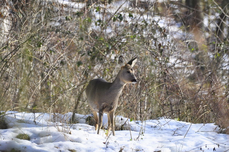 Deer standing on snow covered field during winter