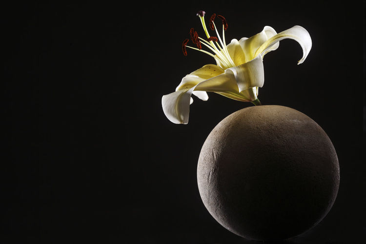 yellow lily on the round stone Flower Flowering Plant Freshness Plant Close-up Lily Lily Flower Floral Petal Nature Summer Blossom White Spring Decoration Color Flora Blooming Bright Bouquet Leaf Green Bud Single Object Pretty Elégance Stone Zen Art Black Background