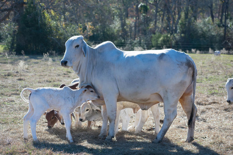 close up of a Brahma cow and her calf Brahma Loving Animal Themes Calf Cow Day Domestic Animals Field Grass Livestock Livestock Photography Mammal Mom And Baby Nature No People Outdoors Sunlight Sweet Tree