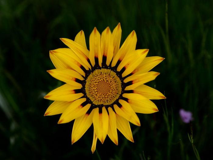 Flower Head Flower Yellow Black-eyed Susan Petal Close-up Plant In Bloom Pollen Stamen Coneflower Plant Life