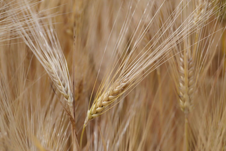 Single ear of wheat Agriculture Backgrounds Brown Cereal Plant Close-up Crop  Day Ear Of Wheat Farm Field Full Frame Growth Land Landscape Nature No People Outdoors Plant Ripe Rural Scene Rye - Grain Selective Focus Wheat