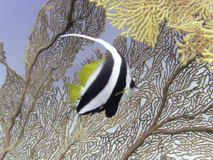 Diving the Andaman Sea around the Similan Islands in Thailand. Dive spot: Surin Diving Moorish Idol Similan Islands, Thailand Thailand Andaman Andaman Sea Divingphotography Sea Similan Similan Island, Thailand Surin Underwater underwater photography