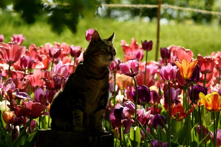 Flower Beauty In Nature Nature Growth Plant Fragility Outdoors Freshness No People Rhododendron Day Flower Head Cats Of EyeEm Cat Plant Orange Color Close-up Freshness Beauty In Nature Nature Multi Colored Tulip Flowerbed Backgrounds Beauty Pet Portraits