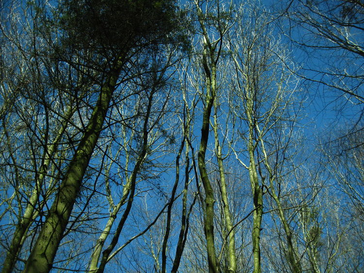Green Trees in Winter Bare Tree Blue Sky Country Countryside In Thw Woods Landscape Looking Up Nature No Clouds Rural Scene Tall Trees The Cotswolds The Woods Trees