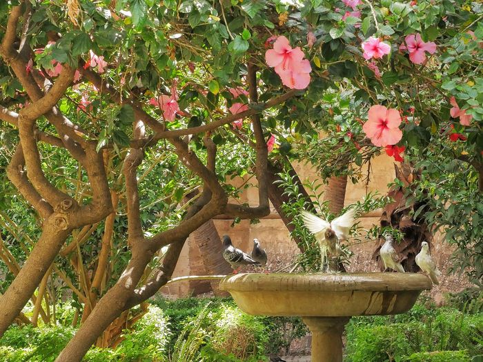 Pidgeon  Bath under Trees in Malaga Andalucía SPAIN España Tree Bird Birds Pidgeons Nature Nature At Your Doorstep Nature On My Doorstep Animal Themes Outdoors Branch Animals In The Wild Animal Wildlife Hibiscus Beauty In Nature The Great Outdoors - 2017 EyeEm Awards