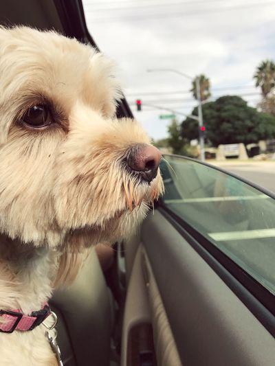 my pup EyeEmNewHere Friendship Love Dog Pets One Animal Domestic Animals Animal Themes Mammal Car EyeEmNewHere