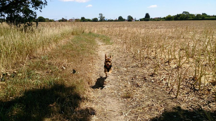 Front view of dog running in land against cloudy sky