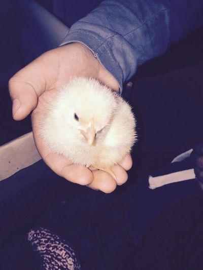 Littlechicken