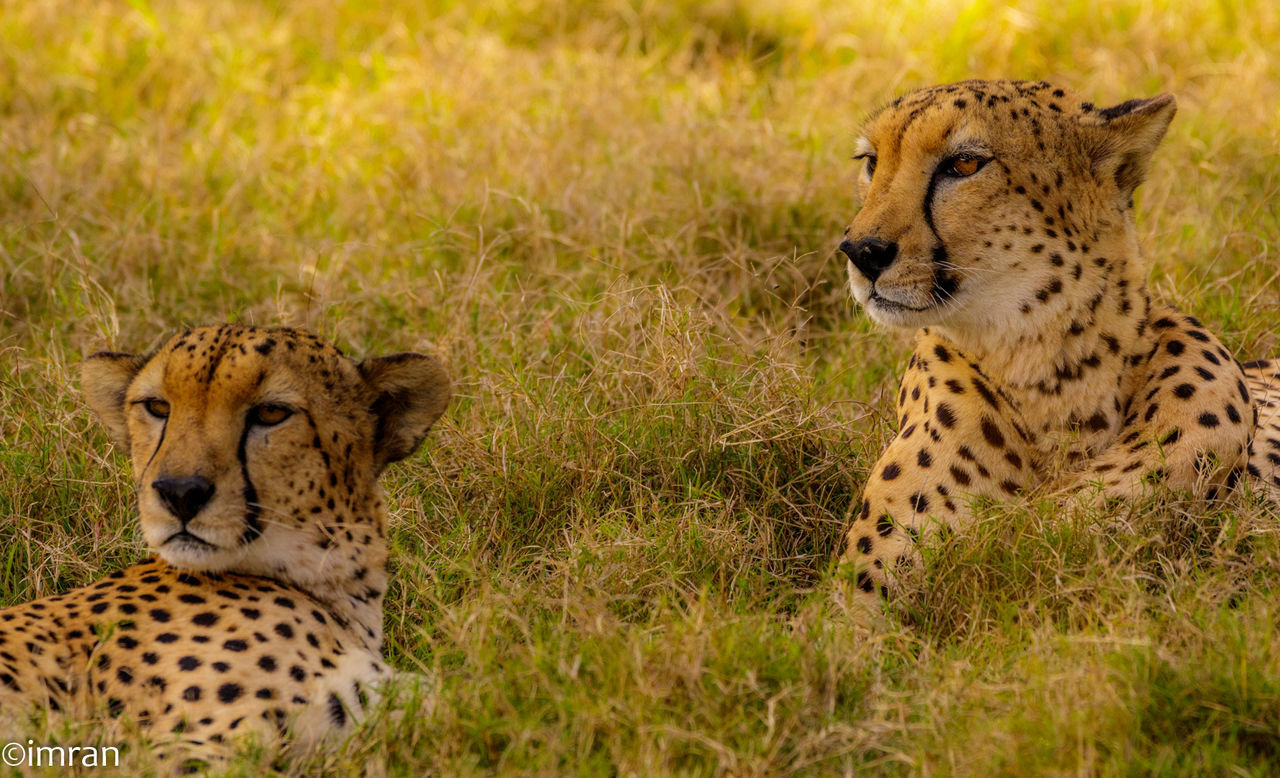 animals in the wild, cheetah, animal themes, spotted, animal wildlife, grass, safari animals, day, feline, leopard, mammal, no people, outdoors, nature, close-up
