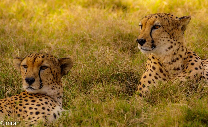 Male Cheetah Twins - Sir Baniyas Island Abu Dhabi