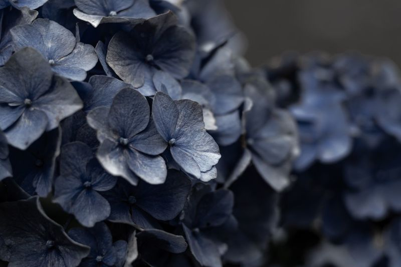 紫陽花 の 哀愁 Close-up Hydrangea Plant Flower Beauty In Nature Flowering Plant Freshness No People Day First Eyeem Photo