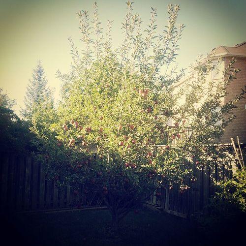 apple tree is almost ready Applepies Appleciders Fallseason Farminthebackyard