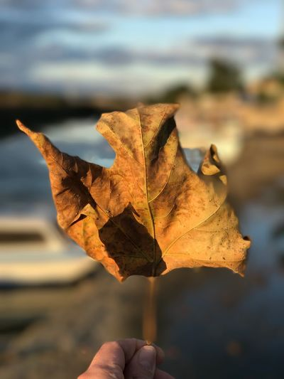 Leaf Leaf Photography Leaf Vein Leafs Photography Mood Rest Riverside River Winter Autumn Brown EyeEm Best Shots EyeEm Nature Lover EyeEm Selects Leaf Autumn Change Dry Focus On Foreground Human Hand Close-up Nature Maple Beauty In Nature Sky Real People Maple Leaf Outdoors