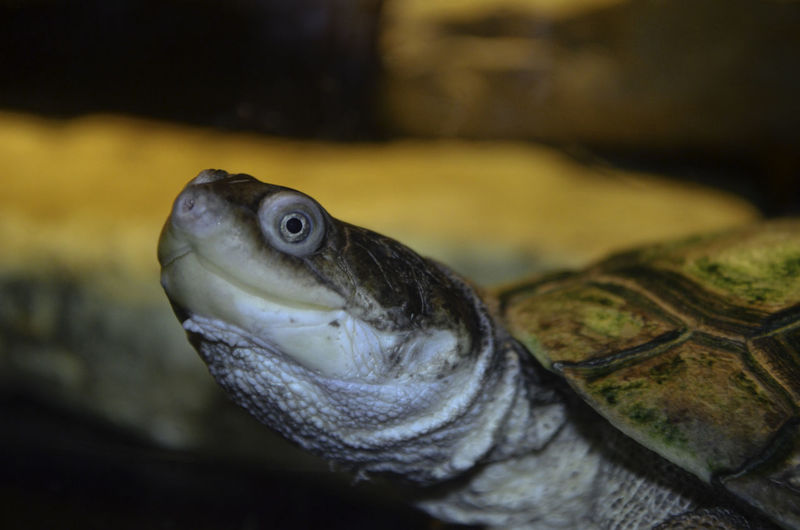#Turtles #face #jodie Sims #jodiesims #photographerinoz #repitile #turtle Turtle Face Animal Body Part Animal Eye Animal Head  Animal Wildlife Animals In The Wild Close-up Eye Marine Reptile Turtle Vertebrate