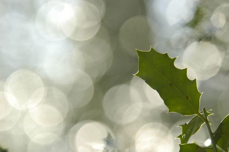 Bokeh Bokehlicious Botany Bubbly Depth Of Field Freshness Highlights Holly Plants 🌱 Prickle Prickly Selective Focus Sharp And Soft Springtime Pattern Pieces Perspectives On Nature