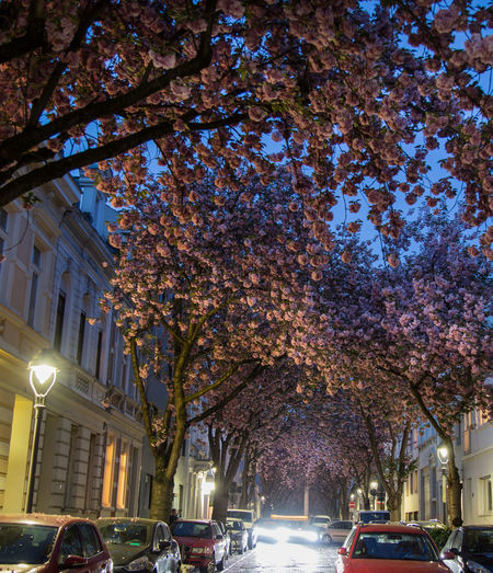 Cherry blossom avenues 100 Places Before You Die Bonn Breite Straße Cherry Blossom Cherry Tree Cherryblossom Eventim Blossom Germany Hanami Heerstraße Natural Wonder No People Outdoors Spring Wonder