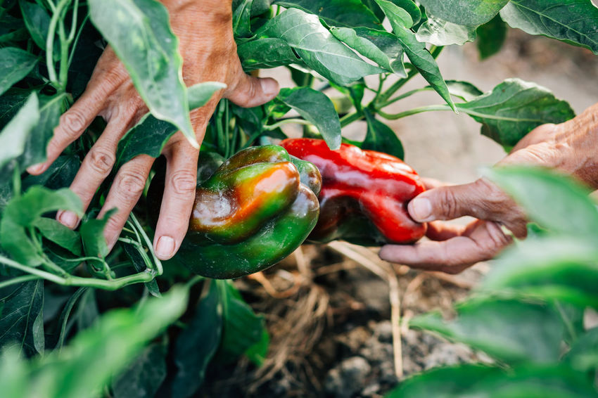 Organic peppers Agriculture Close-up Farmer Food Food And Drink Freshness Gardening Green Color Growth Hand Healthy Eating Holding Human Body Part Human Hand Leaf Nature Organic Organic Gardening Organic Peppers Pepper Plant Plant Part Red Peppers Ripe Vegetable