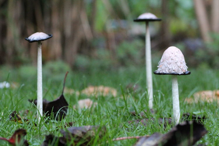 Mushrooms in the garden Mushroom Fungus Plant Land Vegetable Toadstool Growth Field Food Selective Focus Grass Nature Day No People Close-up Forest Beauty In Nature Tree Outdoors Green Color Wild Surface Level