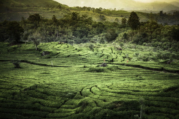 Beautiful tea plantation field Agriculture Beauty In Nature Crop  Day Environment Farm Field Green Color Growth High Angle View Land Landscape Nature No People Outdoors Plant Plantation Rolling Landscape Rural Scene Scenics - Nature Tea Crop Tranquil Scene Tranquility Tree