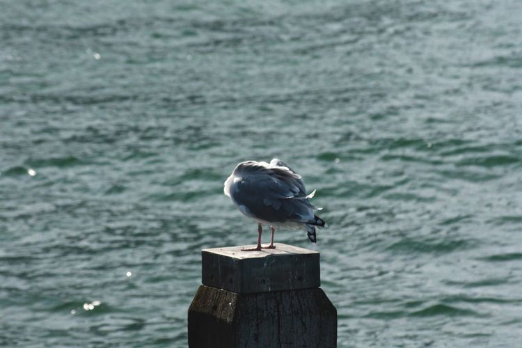 Animal Themes Animal Wildlife Animals In The Wild Bird Bird On A Pole Day Hiding Hiding From The World Hiding Out Nature No People Ocean One Animal Outdoors Perching Sea Sea Life Seagul Seagull Seagulls And Sea Seascape Water