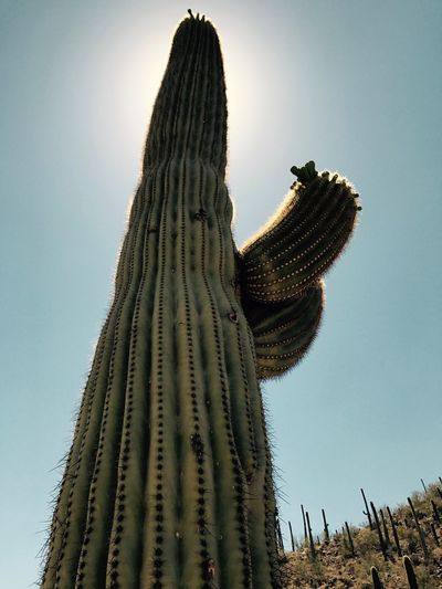 Cactus Saguaro Cactus No People Low Angle View Growth Outdoors Nature Thorn Clear Sky Beauty In Nature Spiked Sunlight Sky Wilderness Area