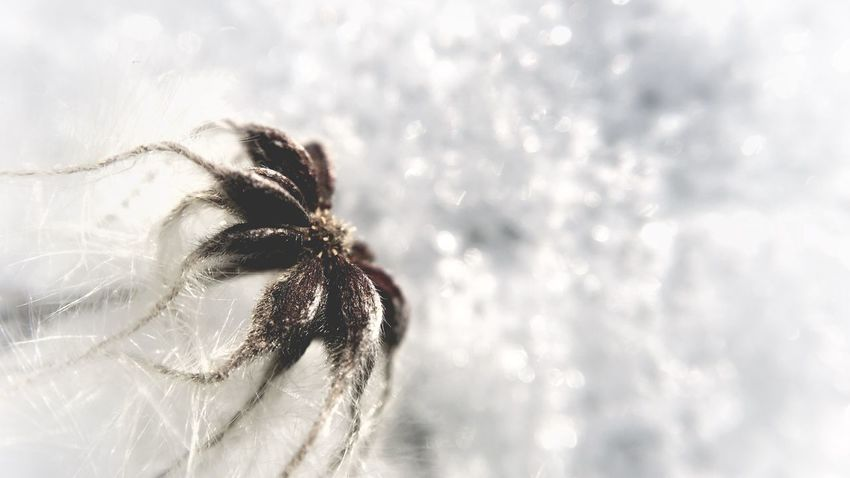 ᶠᴸᵁᶠᶠᵞᴺᴱˢˢ ᴼᴺ ˢᴺᴼᵂ Dry Flower  Winter Wonderland Colorsplash Dry Flower  White Background Dof Fluffy Tadaa Community Melancholic Landscapes Plant Nature Photography Nature Ice Snow Close Up Olloclip Macro Photography Macro Day Outdoors Focus On Foreground Close-up Nature No People
