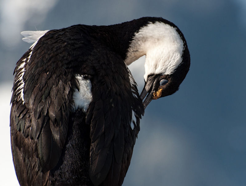 Antarctic Shag Cleaning Cormorant  Animal Wildlife Animals In The Wild Bird Blue-eyed Cormorant Nature Outdoors EyeEmNewHere