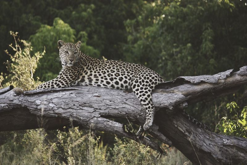 Leopard Relaxing On Fallen Tree
