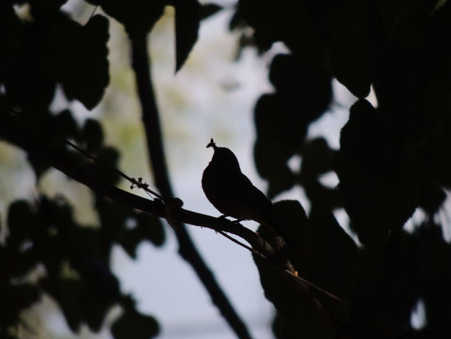 Animal Animal Themes Animal Wildlife Animals In The Wild Bird Branch Day Focus On Foreground Low Angle View Nature No People One Animal Outdoors Perching Plant Selective Focus Silhouette Sky Tree Vertebrate