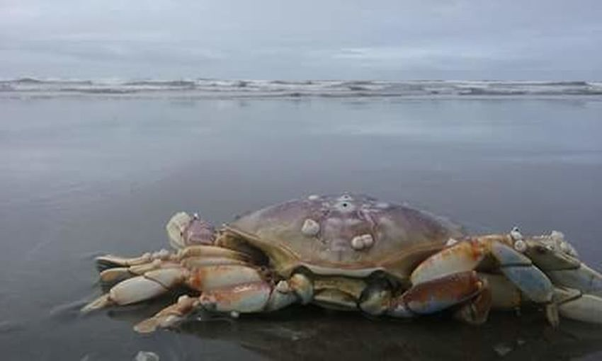 Water Animal Themes Animal Shell Zoology Animals In The Wild Beach Wildlife Sea One Animal Close-up Aquatic Waterfront Nature Sky Water Surface Shore Focus On Foreground Crab