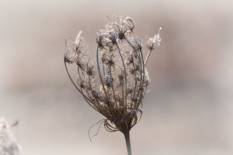 Focus On Foreground Close-up Nature Flower Beauty In Nature Vulnerability  Fragility Faded Bokeh Frozen Frozen Nature Frosty Frosty Mornings Cold Cold Days Cold Winter ❄⛄ Winter Wintertime Nature Photography Nature_collection Naturelovers Beautiful Nature Lovely EyeEm Nature Lover Eye4photography